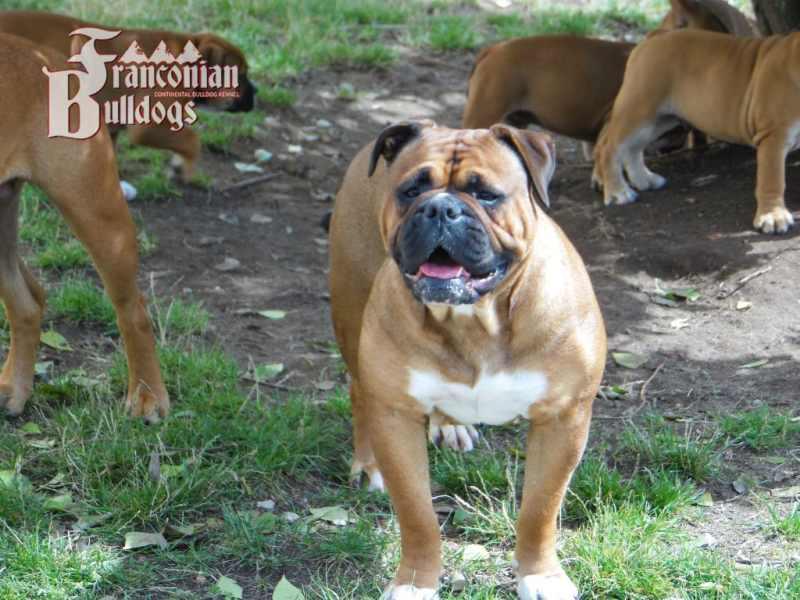 Franconian Bulldog Welpen A-Wurf 418